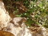 0605-kenia-tsavo-east-rock_hyrax2
